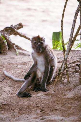 Beždžionė Mu Koh Lanta nacionaliniame parke